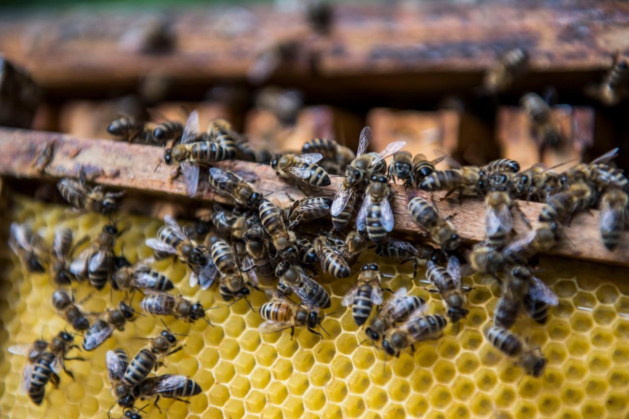 méheket teszünk a péniszre az erekció romlása fiatal korban