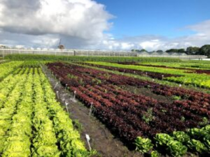 ÖMKi's discussions with the Netherlands Inspection Service for Horticulture included visiting organic lettuce fields